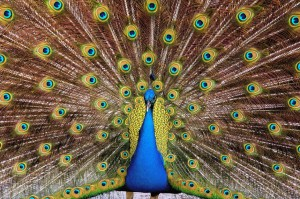 In Western art, vanity was often symbolized by a peacock,
